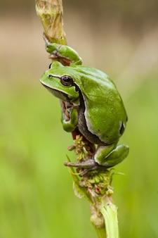 Vertikaler selektiver fokusschuss eines schönen grünen frosches, der am stamm einer pflanze festhält