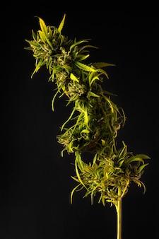 Vertikales bild der cannabispflanze auf schwarzem hintergrund col seitenbeleuchtungshintergrund mit seitenbeleuchtung