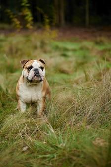 Vertikales bild der englischen bulldogge im feld