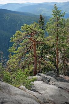 Vertikales bild des kiefernwaldes, der auf nackten steinen wächst