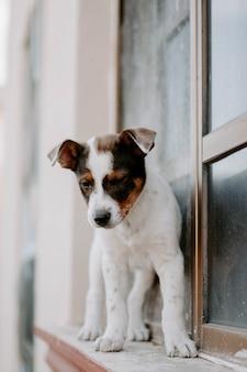 Vertikales bild eines niedlichen russel terrier welpen auf einem fensterbrett