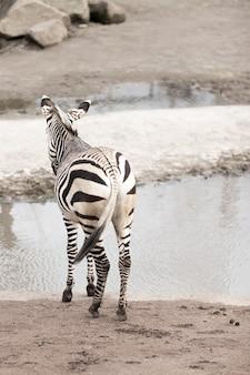 Vertikales bild eines zebras nahe einem see unter dem sonnenlicht mit einem verschwommenen hintergrund