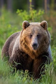 Vertikales porträt des braunbären, der im grünen gras von vorne beobachtet