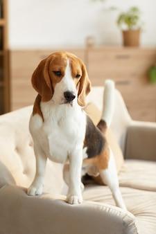 Vertikales porträt des niedlichen beagle-hundes, der auf couch im gemütlichen hauptinnenraum durch sonnenlicht beleuchtet steht
