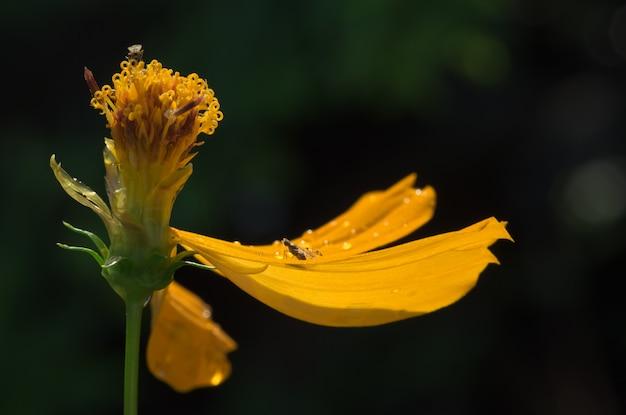 Verwelken sie gelbe kosmosblume