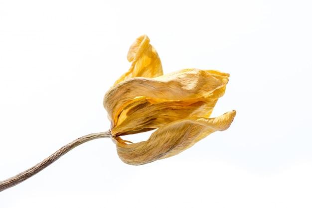 Verwelkte blume. getrocknete gelbe tulpenblume lokalisiert auf weißem hintergrund.