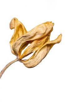 Verwelkte blume. getrocknete gelbe tulpenblume lokalisierte weißen hintergrund.