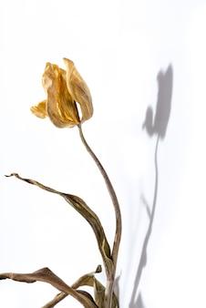 Verwelkte blume. getrocknete gelbe tulpenblume über weißem hintergrund mit schatten.