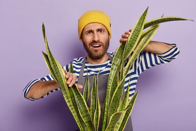 Verwirrter unzufriedener mann mit stoppeln baut zimmerpflanzen an, muss staub auf sansevieria abwischen