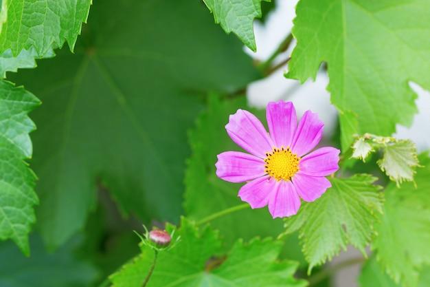 Verwischt von der kosmosblume, die für hintergrund blüht. kopieren sie platz für ihren text. blumenhintergrund mit rosa kosmeya.
