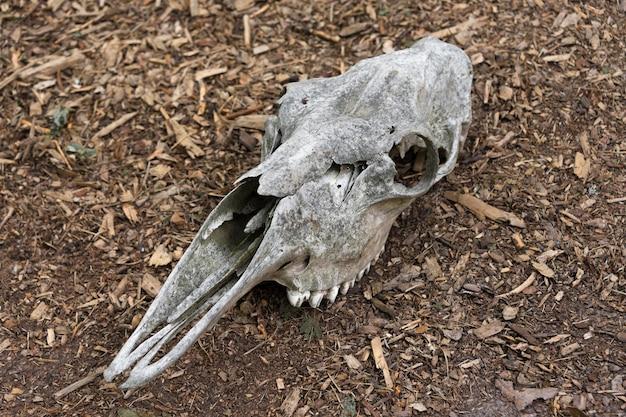 Verwitterter schädel eines toten pferdes im wald ein alter pferdeschädel liegt auf dem boden knochenschädel mit zähnen