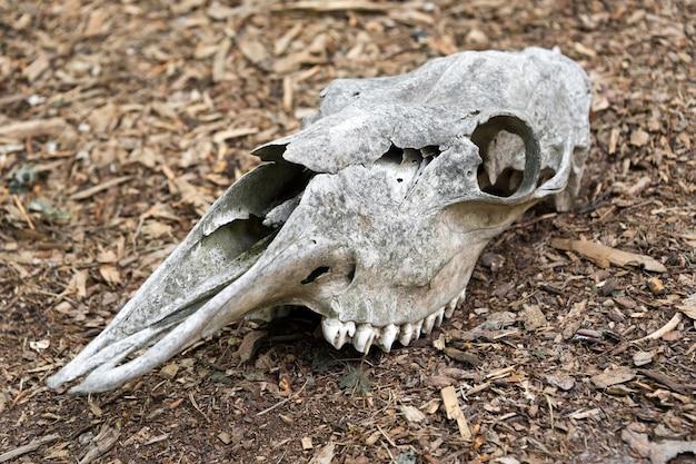 Verwitterter schädel eines toten pferdes im wald. ein alter pferdeschädel liegt auf dem boden. knochenschädel mit zähnen.