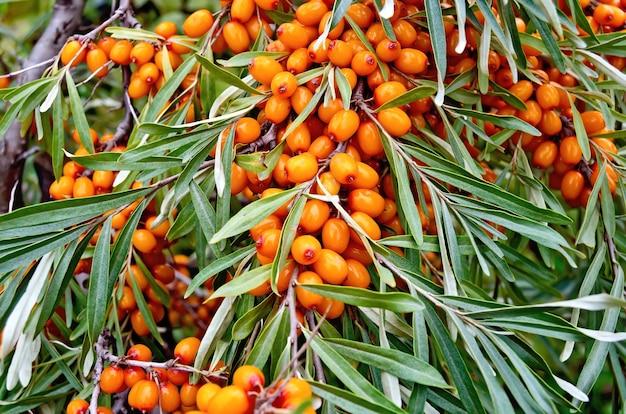 Verzweigen sie sich mit reifen orangefarbenen sanddornbeeren auf einem hintergrund von grünen blättern