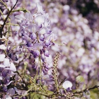 Verzweigen sie sich mit schönen violetten blumen am baum