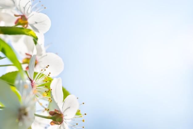 Verzweigen sie sich mit weißen blüten auf einem blühenden kirschbaum, weichem hintergrund aus grünen frühlingsblättern und blauem himmel
