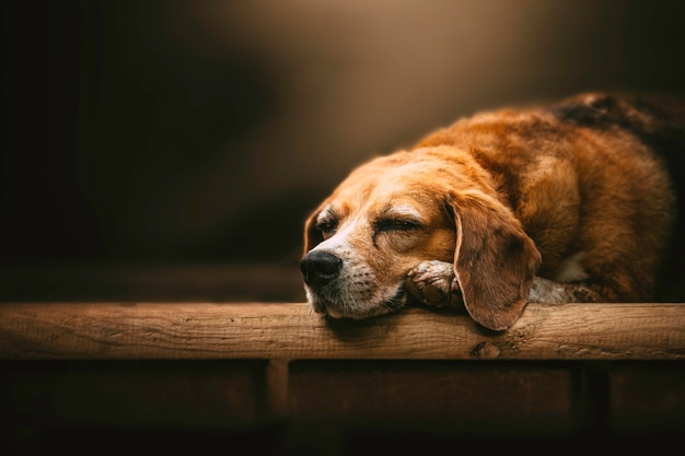 Veteran beagle liegt mit dem kopf zwischen den pfoten in einer zarten umgebung.