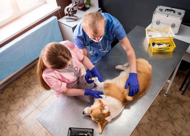 Veterinärteam verbindet die pfote eines kranken corgi-hundes