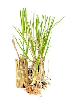 Vetiver gras oder vetiveria zizanioides bäume lokalisiert auf weißem hintergrund.