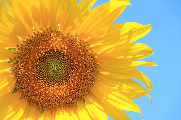 Vibrierende gelbe voll blühende sonnenblume auf blauem himmel