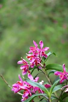 Vibrierende rosa wilde orchidee blüht auf berg huayna picchu, machu picchu, cusco, peru