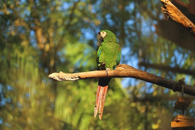 Vibrierender grüner papagei, der auf baumast im sonnenlicht, foz hockt, tun iguacu, brasilien, südamerika