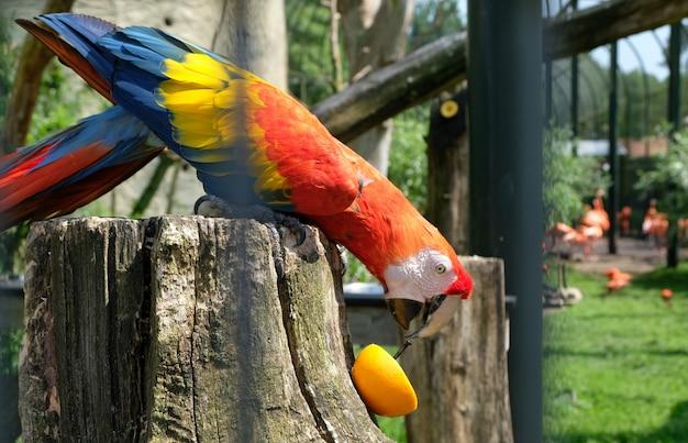 Vibrierender papagei, der eine orange in amsterdam-zoo artis isst