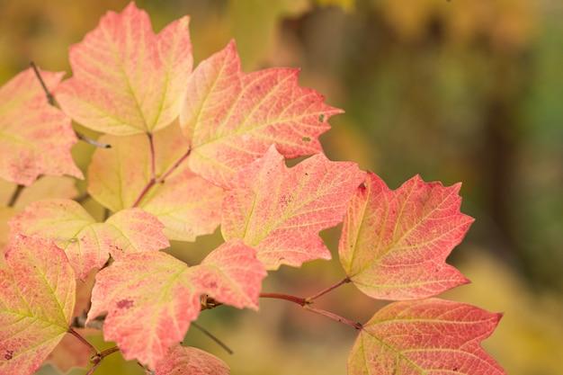 Viburnum-zweig mit roten herbstgelbblättern auf dem unscharfen hintergrund.