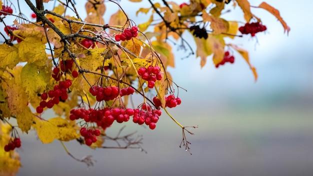 Viburnum zweige mit roten beeren und gelben blättern im herbst.