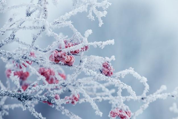 Viburnumbusch mit frostbedeckten roten beeren und zweigen