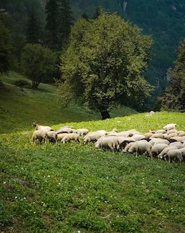 Vieh, das auf den grünen feldern weidet
