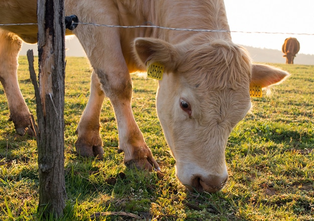 Vieh, das hinter einem elektrischen zaun bei sonnenaufgang weidet