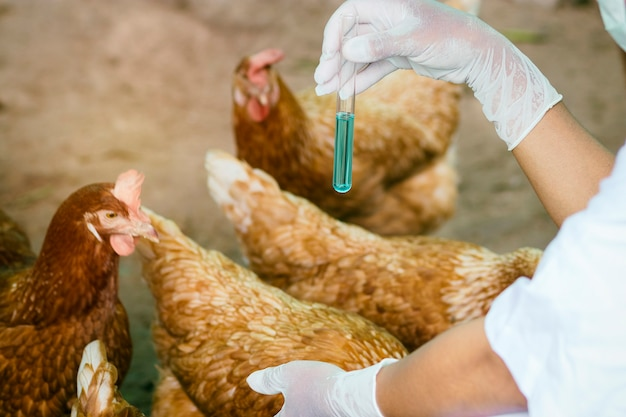 Viehhalter halten reagenzglas und überprüfen die gesundheit von huhn in lokalen bauernhof in thailand. machen sie eine überprüfung und verhindern sie epidemien.