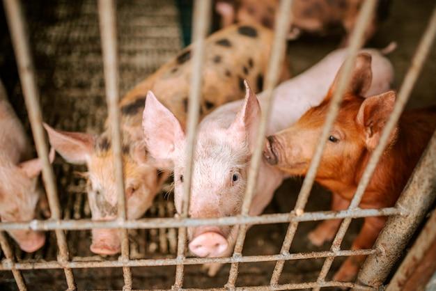 Viehzucht. schweine auf dem bauernhof.