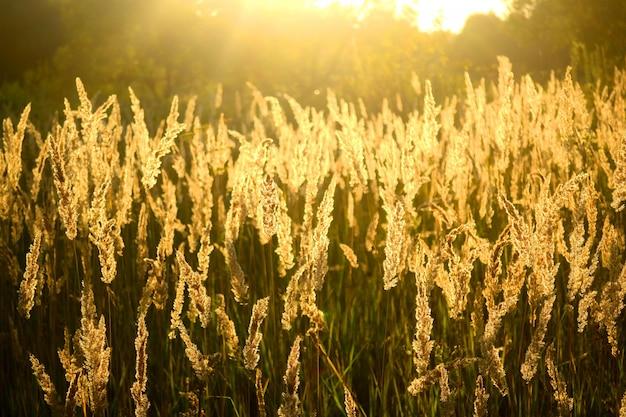 Viel flauschiges gras bei sonnenschein, der filter