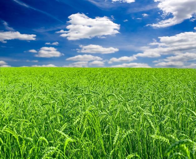 Viel grüner weizen unter rotem himmel Premium Fotos