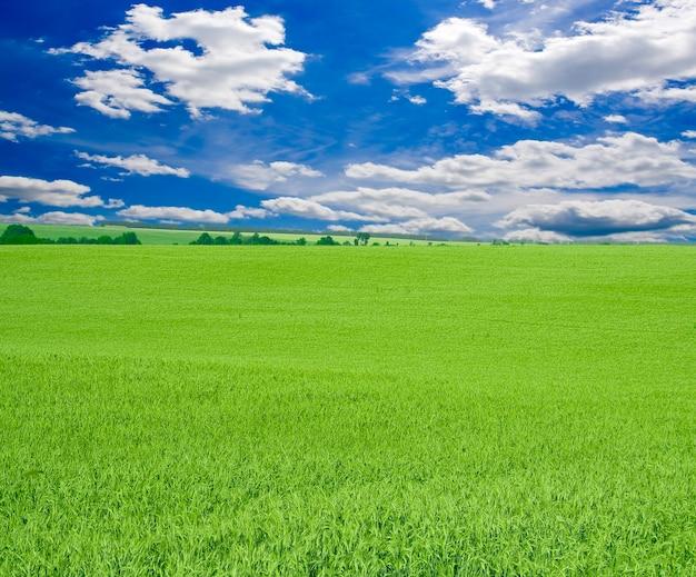 Viel grüner weizen unter rotem himmel