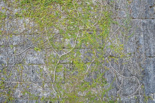 Viel kleines grün hinterlässt diese wurzeln an einer steinmauer