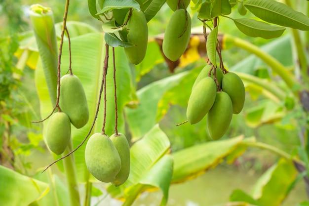 Viel mango auf dem baum in der gartenunschärfebananenstaude.