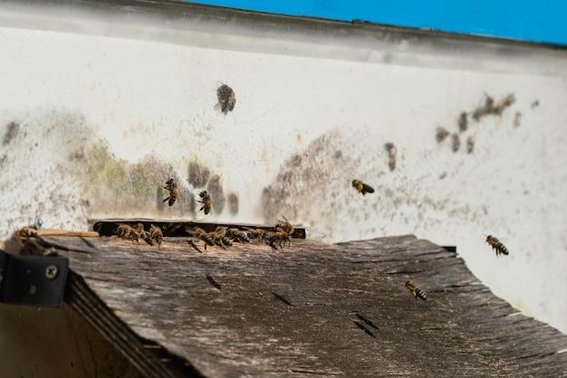 Viele bienen betreten bienenstock mit gesammeltem honig. bienen sammeln nektar von blumen und legen sie in sechseckige zellen, nachdem sie in den bienenstock zurückgekehrt sind