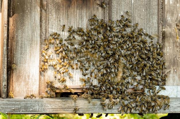Viele bienen kehren zum bienenstock zurück und betreten den bienenstock mit gesammeltem blumennektar und blütenpollen. bienenschwarm, der nektar von blumen sammelt. gesunder honig aus biologischem anbau.