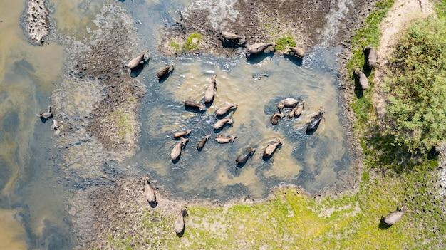 Viele der thailändischen wasserbüffel, die wasser im see spielen