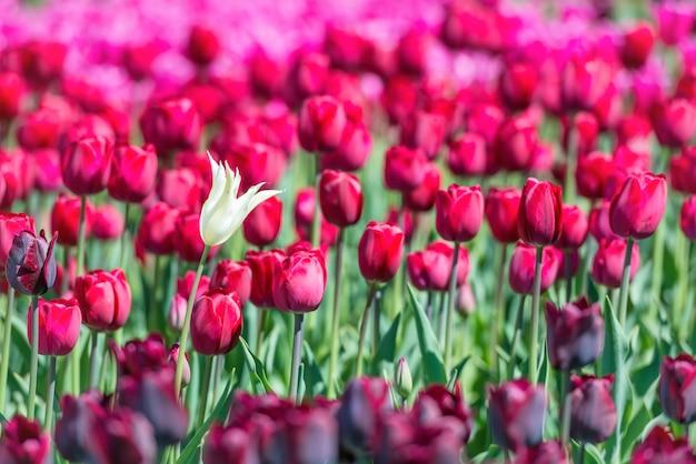 Viele dunkelrote tulpen auf dem feld. florale textur, fokus auf weiße blume