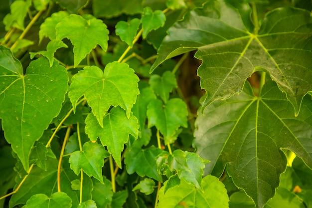 Viele efeublätter bedecken eine wand, natürlicher hintergrund
