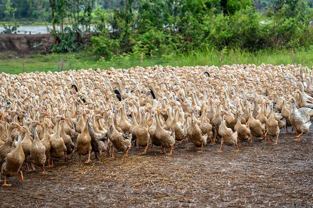 Viele enten in vietnam, industriebauernhofkonzept