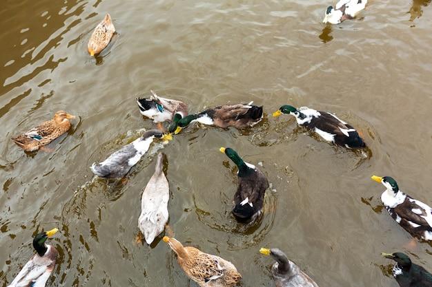 Viele enten schwimmen im wasser. tiere in einem stadtpark