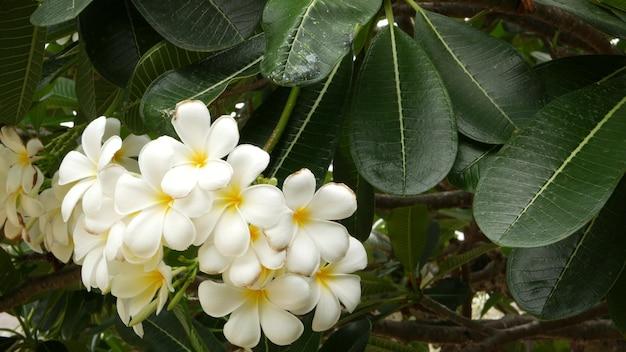 Viele exotische weiße blüten. blühender frangipani plumeria leelawadee baum. natürlicher tropischer hintergrund