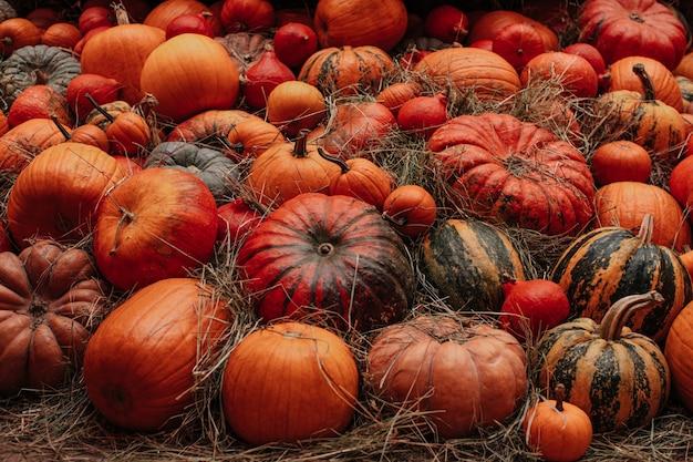 Viele frische orangefarbene kürbisse liegen im heu herbstdekoration die erntezeit thanksgiving