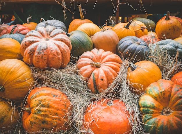 Viele große orangefarbene kürbisse liegen im stroh. herbsternte der kürbise vorbereitet für den feiertag.