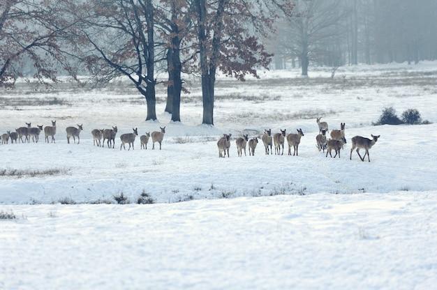 Viele junge hirsche auf der winterwiese