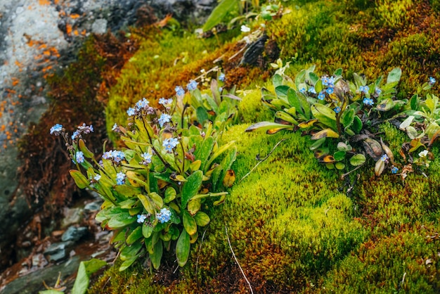 Viele kleine blaue blüten von myosotis auf moosigen steinen. malerische natur mit dichtem moos und üppiger vegetation der berge. frisches grün mit tröpfchen. nasse pflanzen mit tropfen. reichhaltige alpine flora nahaufnahme.